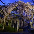 (一応)みいこの撮った夜桜