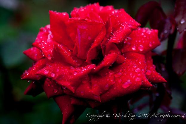 Photos: Rose-3482