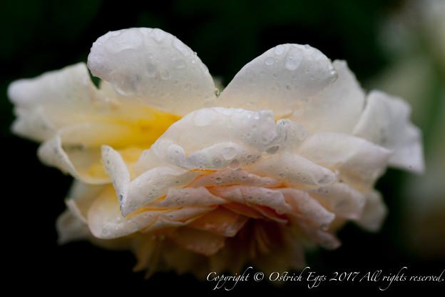 Photos: Rose-3487