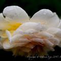 Rose-3487