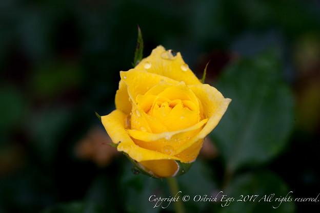 Photos: Rose-3491