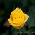 Rose-3491