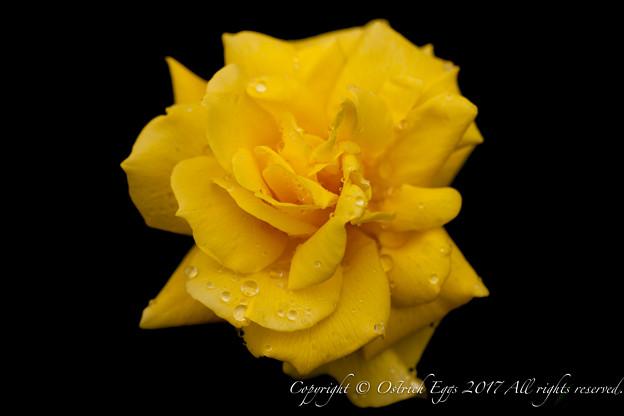 Photos: Rose-3492