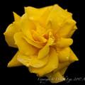 Rose-3492
