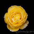 Photos: Rose-3506