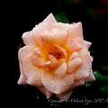 Photos: Rose-3511