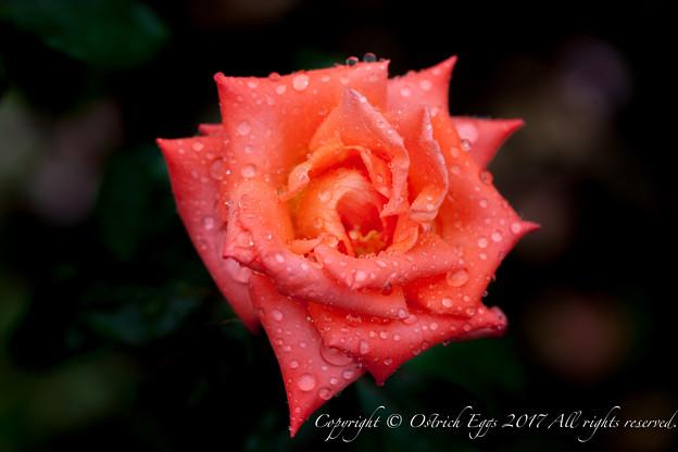 Photos: Rose-3522