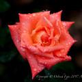 Rose-3522