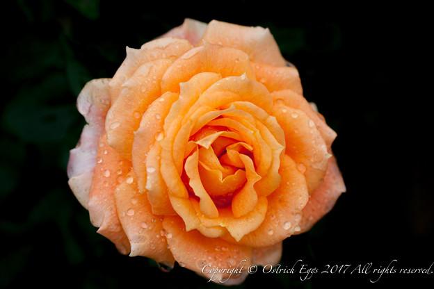 Photos: Rose-3531