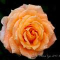 Rose-3531