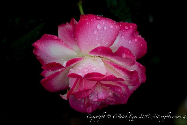 Photos: Rose-3534