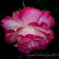 Rose-3534