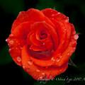 Photos: Rose-3537