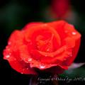 Photos: Rose-3540