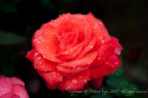 Photos: Rose-3545