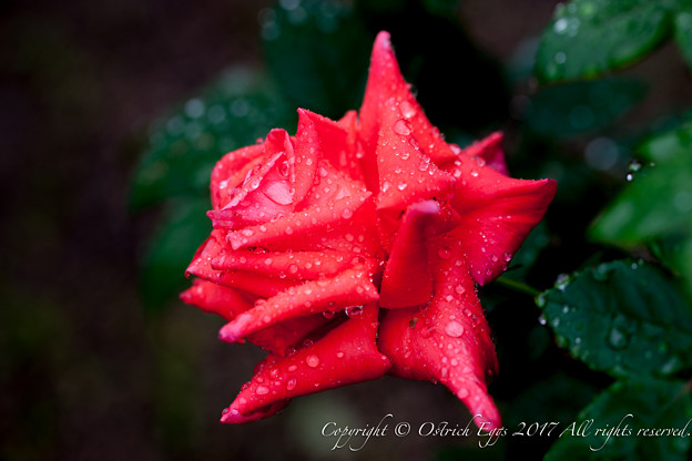 Photos: Rose-3548
