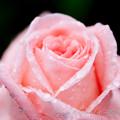 Rose-3558