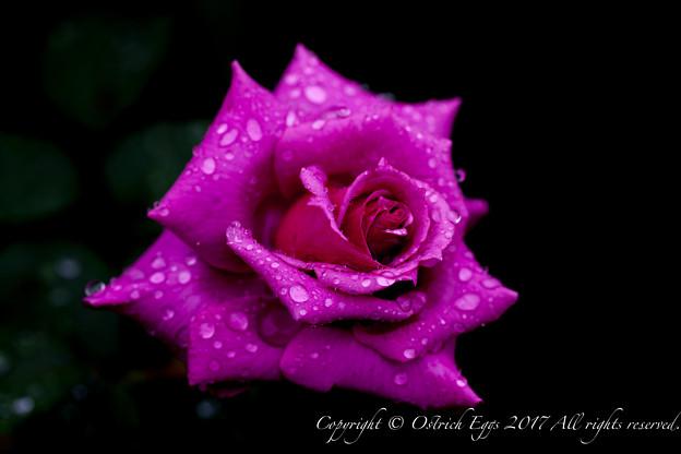 Photos: Rose-3568