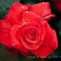 Photos: Rose-3574