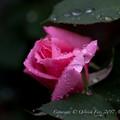 Photos: Rose-3575