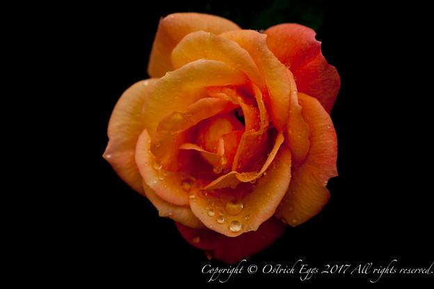 Photos: Rose-3577