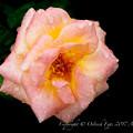 Photos: Rose-3578