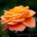 Photos: Rose-3580