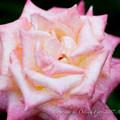 Photos: Rose-3592