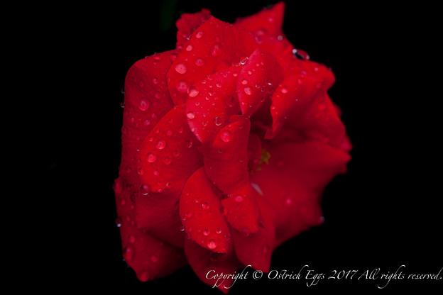 Photos: Rose-3594