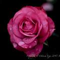 Photos: Rose-3597