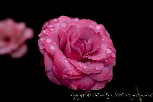 Photos: Rose-3600