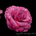 Rose-3600