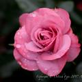 Photos: Rose-3605
