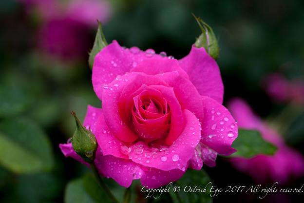 Photos: Rose-3613
