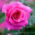 Photos: Rose-3619