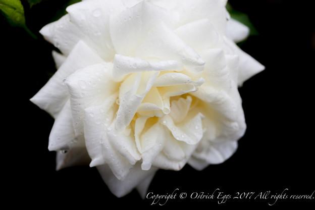 Photos: Rose-3627