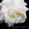 Rose-3627