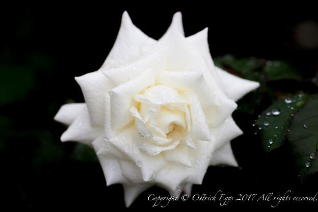 Photos: Rose-3629