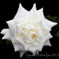 Rose-3629