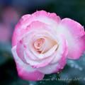 Photos: Rose-3634