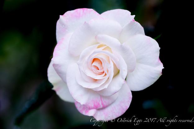 Photos: Rose-3636