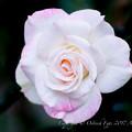 Rose-3636