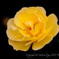 Rose-3664