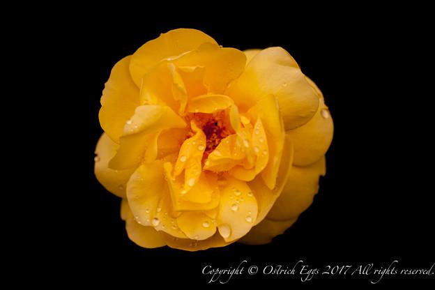 Photos: Rose-3665