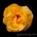 Rose-3665