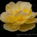 Photos: Rose-3666