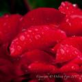 Photos: Rose-3679