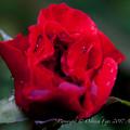 Photos: Rose-3680