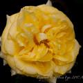 Photos: Rose-3684