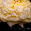 Photos: Rose-3687
